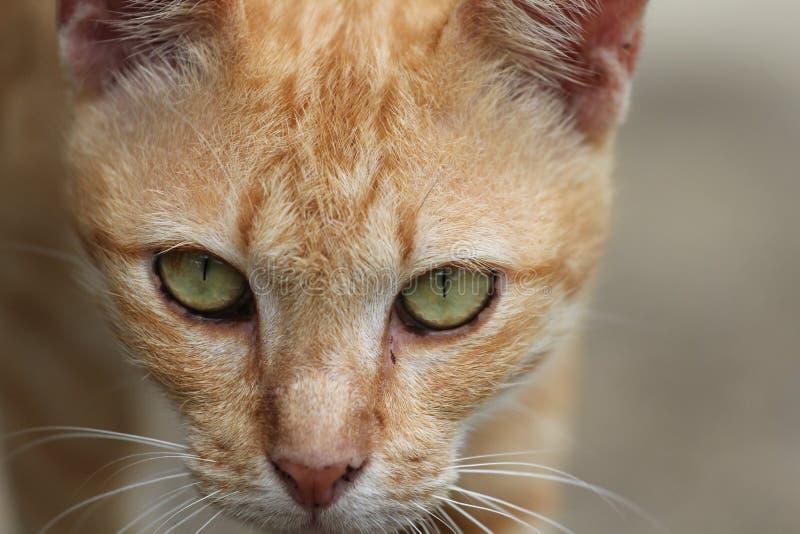 Pomarańczowy kot w Tajlandia obraz stock