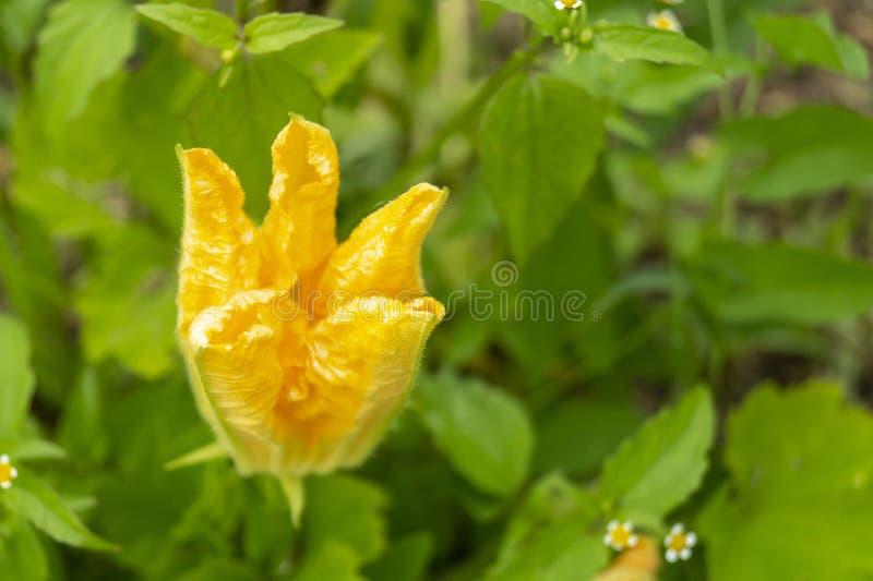 Pomarańczowy kwiat bania na tło zieleni prześcieradle obraz royalty free