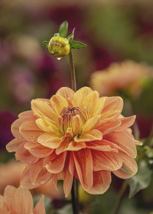 Pomarańczowy Kwiat I Pąk Z Kroplami Deszczowymi obrazy stock