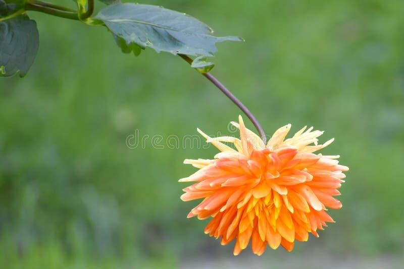 Pomarańczowy kwiat izolowany z trawiastym tłem zdjęcie royalty free