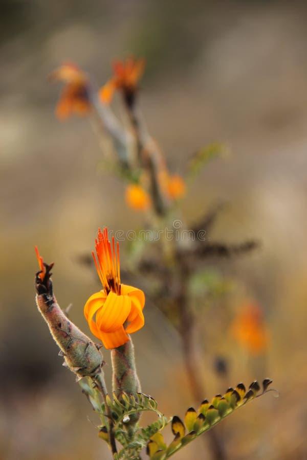 Pomarańczowy kwiat Mutisia zdjęcie stock