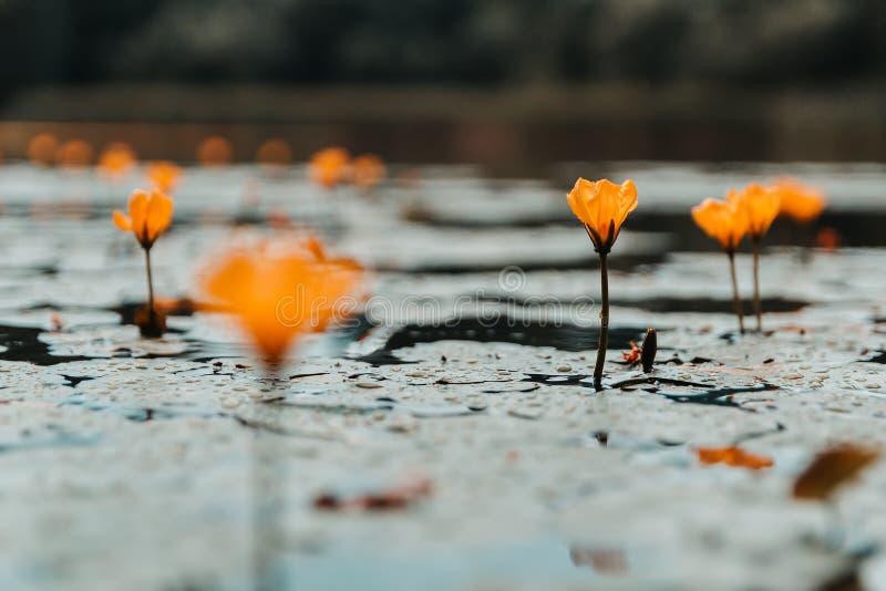 Pomarańczowy kwiat na stawie z blured tłem, kopii przestrzeń, barwiona fotografia fotografia stock