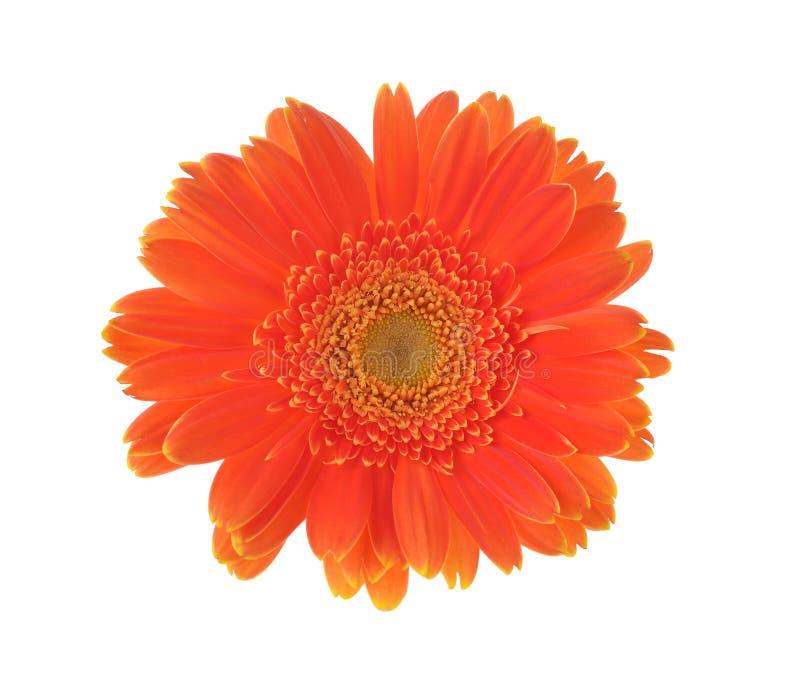 Pomarańczowy kwiat odizolowywający na białym tle gerber fotografia royalty free