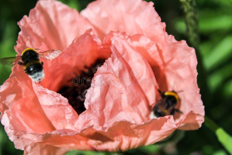 Pomarańczowy kwiat z dwa bumblebee, makro- fotografia fotografia royalty free