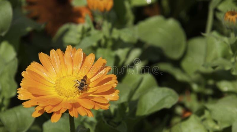 Pomarańczowy kwiat z pszczołą obraz royalty free