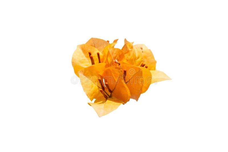 Pomarańczowy kwiatu Bougainvillea odizolowywający na białym tle obrazy royalty free