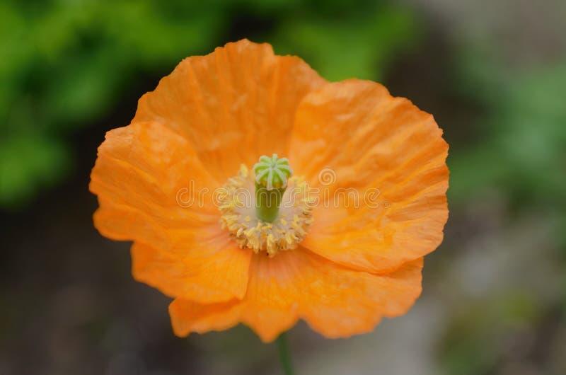 Pomarańczowy kwiatu papaver makro- obrazy royalty free
