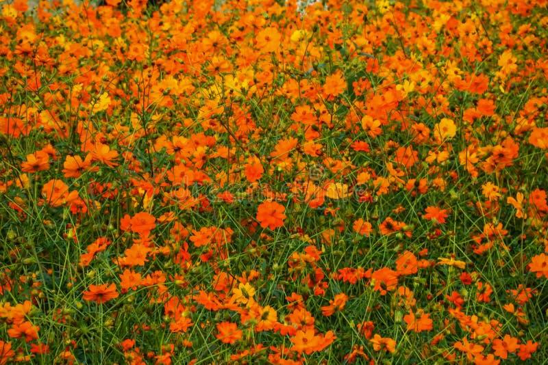Pomarańczowy kwiatu pole fotografia stock