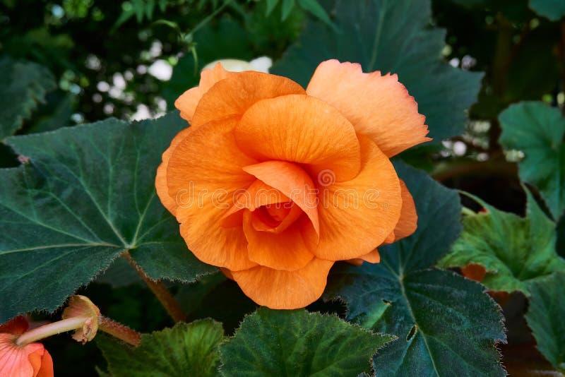 Pomarańczowy kwiatu uniwersytet Oxford ogród botaniczny zdjęcia stock