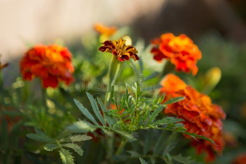 Pomarańczowy kwiecisty tło nagietki zdjęcia stock