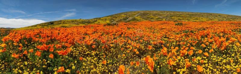 Pomarańczowy maczek Wypełniająca góra obraz stock