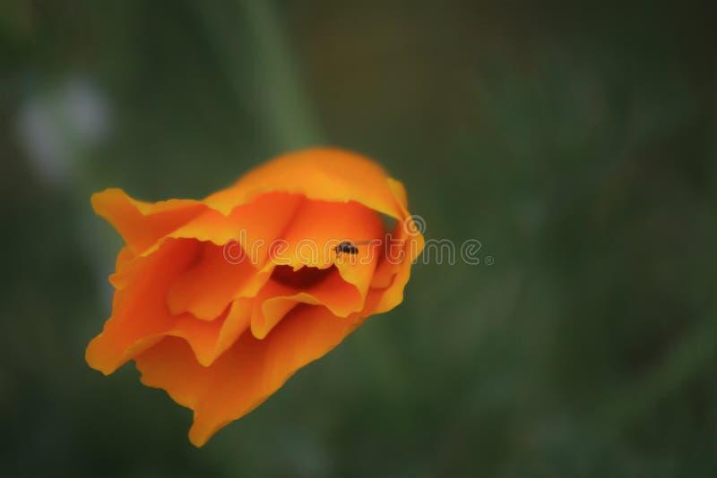 Pomarańczowy makowy kwiat zdjęcia stock