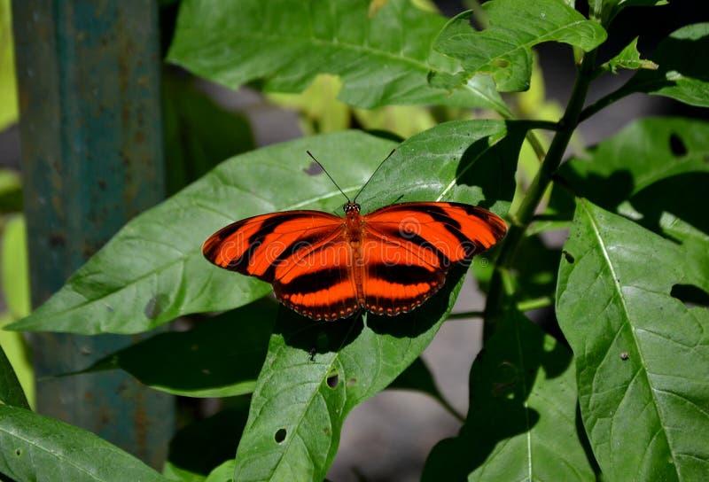 Pomarańczowy motyl zdjęcie royalty free