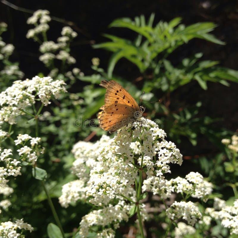 Pomarańczowy motyl i biel zdjęcia royalty free