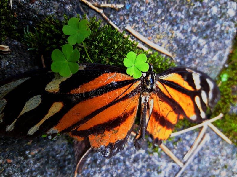 Pomarańczowy motyl i koniczyny obraz royalty free
