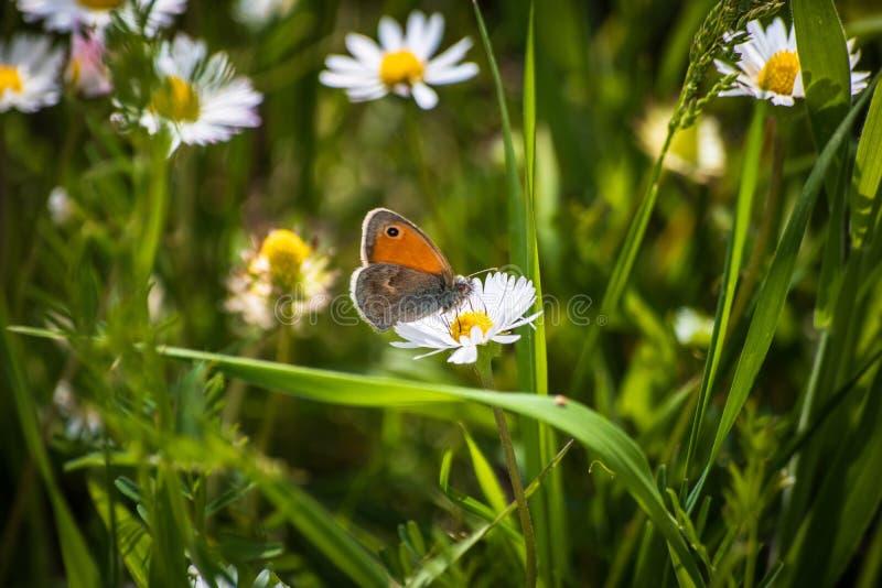 Pomarańczowy motyl na białej stokrotki kwiacie na łące obraz stock