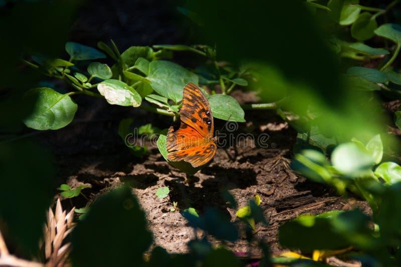 Pomarańczowy motyl przy podwórzem zdjęcie royalty free