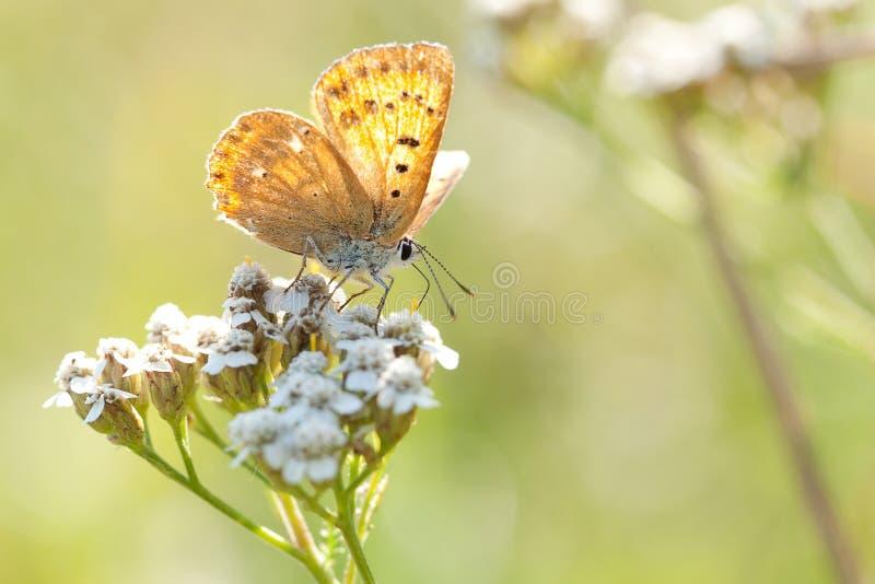 Pomarańczowy motyl siedzi na kwiatonośnej rośliny krwawniku obraz royalty free