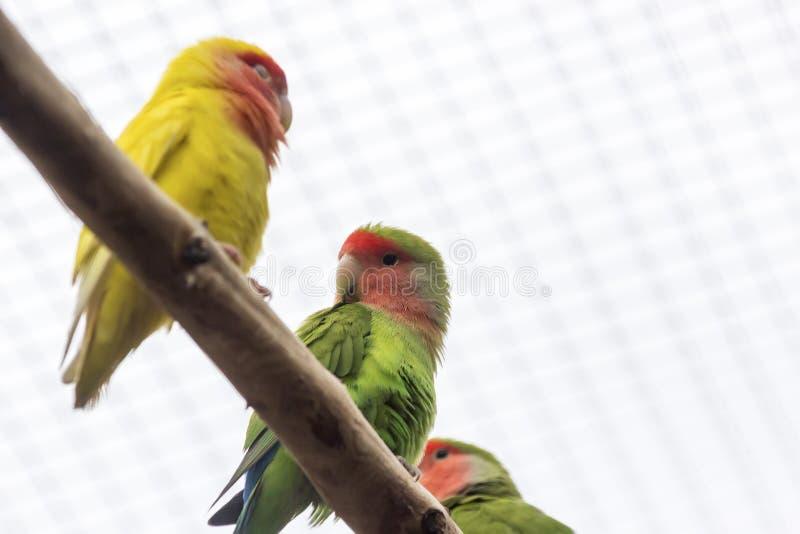 Pomarańczowy oskrzydlony Amazon Canaima park narodowy w południowych wschodach Wenezuela zdjęcie royalty free