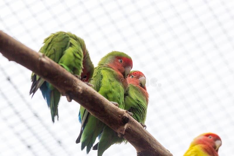 Pomarańczowy oskrzydlony Amazon Canaima park narodowy w południowych wschodach Wenezuela zdjęcia stock