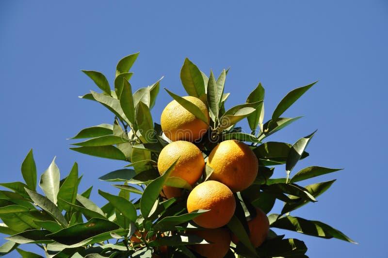 pomarańczowy owoc drzewo obrazy stock