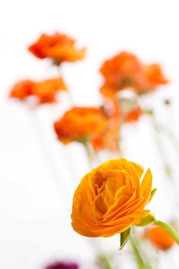 Pomarańczowy perski jaskier fotografia royalty free