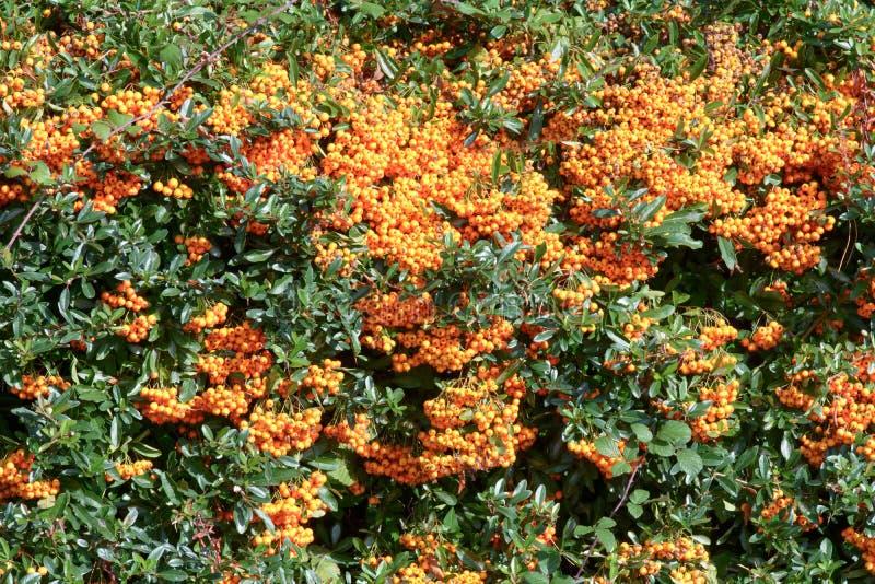 Pomarańczowy podrywacz Firethorn obrazy stock
