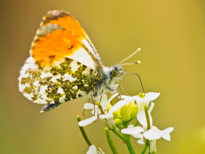 Pomarańczowy porada motyl zdjęcie royalty free