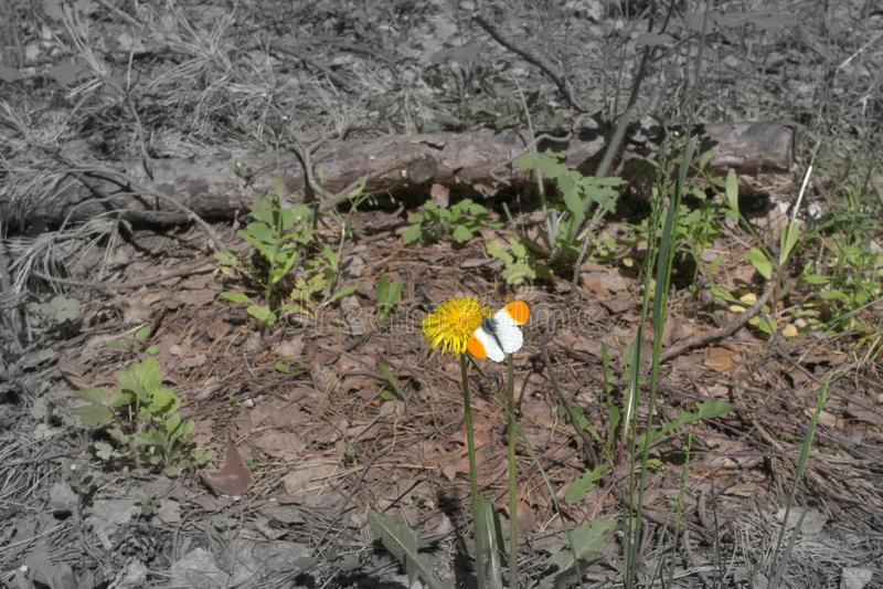 Pomarańczowy porada motyl na dandelion kwiacie wyblakły backgroun fotografia royalty free