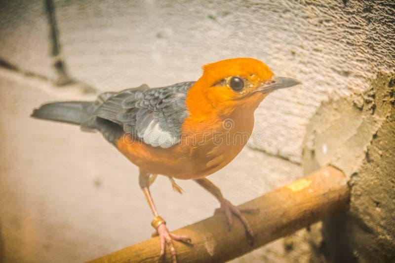 Pomarańczowy ptak - Geokichla citrina ptak na żerdzi fotografia stock