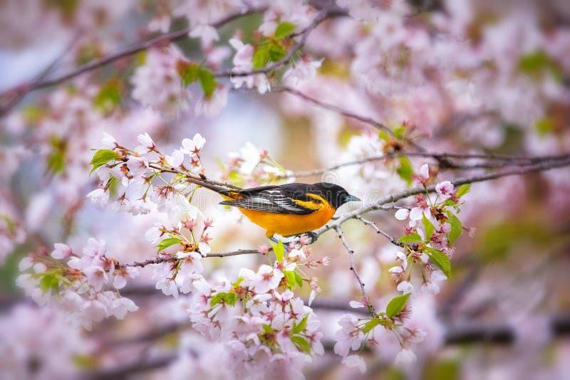 Pomarańczowy ptasi obsiadanie na czereśniowego okwitnięcia drzewie fotografia stock