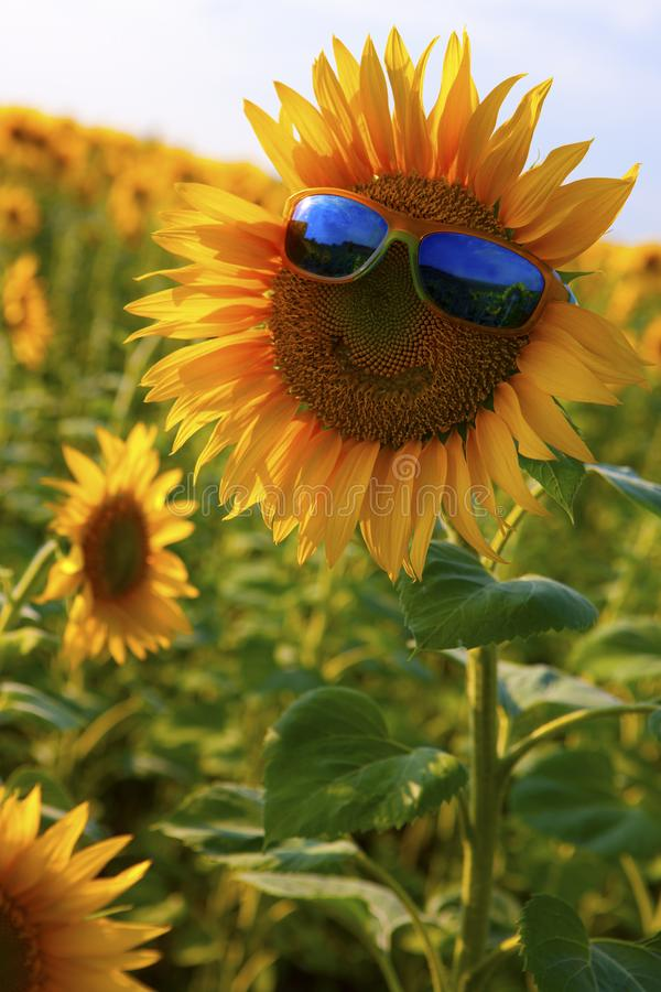 Pomarańczowy słonecznik z uśmiechem w żółtych okularach przeciwsłonecznych z błękitnymi szkłami w polu słoneczniki obrazy stock