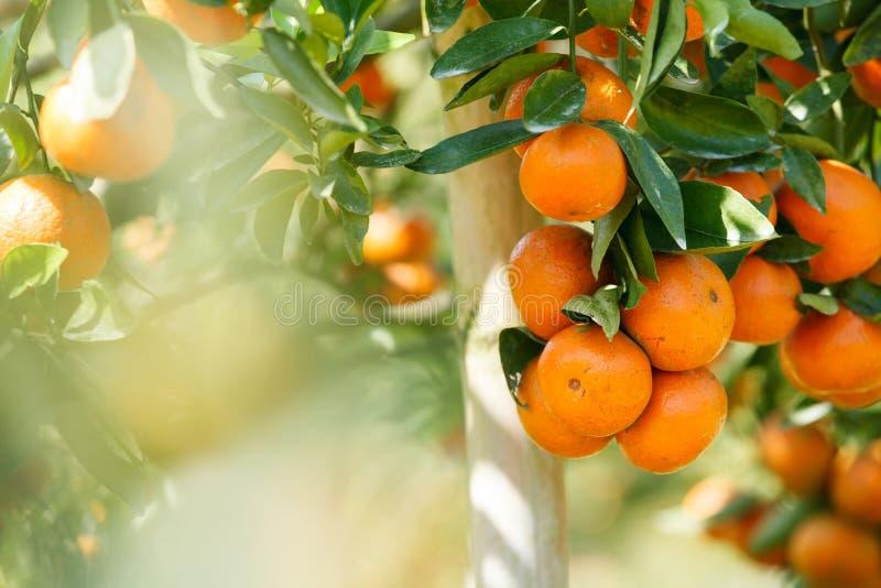 Download Pomarańczowy Sad W Północnym Tajlandia Obraz Stock - Obraz złożonej z świeży, roślina: 53785029