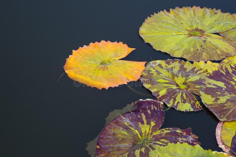 Pomarańczowy spadku Waterlily ochraniacz zdjęcia stock