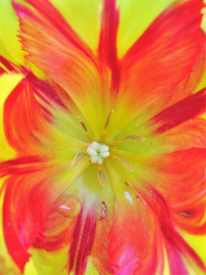 pomarańczowy tulipan obraz royalty free