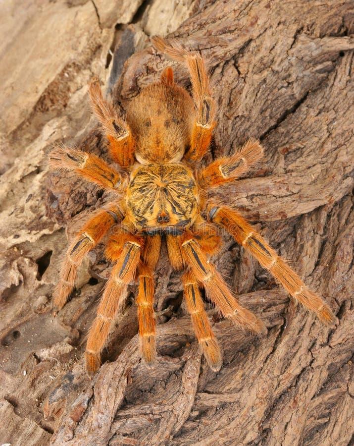 pomarańczowy usambara pawian tarantulę zdjęcie stock