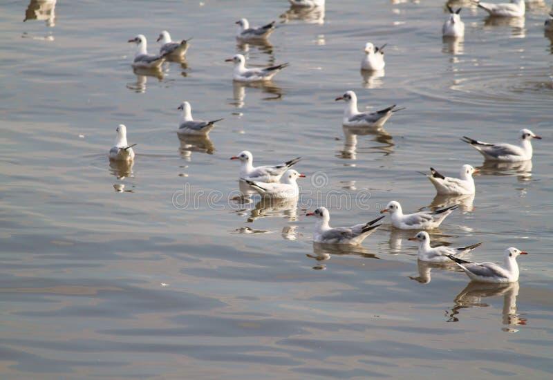 Pomarańczowy usta i czerni ogon od grupy białego seagull tła ostrości miękki unosić się fotografia stock