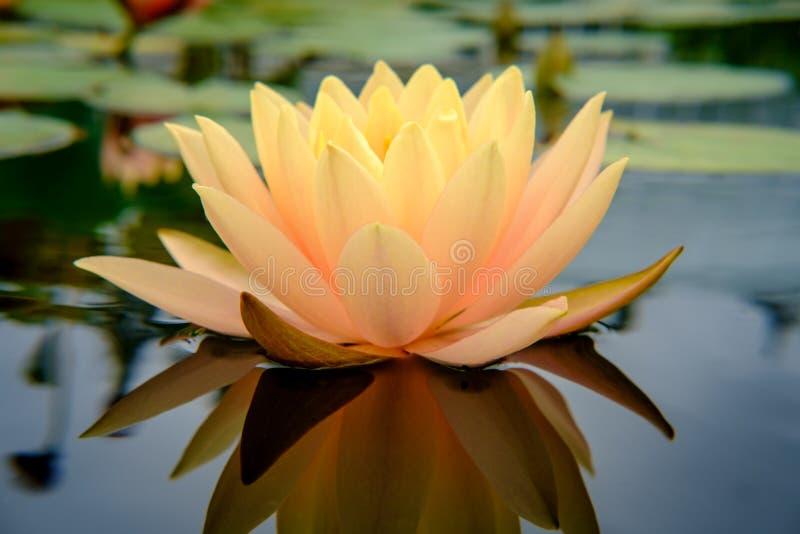Pomarańczowy Zimnotrwały Waterlily kwiat fotografia stock