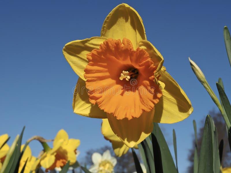 Pomara?cze wype?niaj?cy kwitn?cy daffodils obraz royalty free