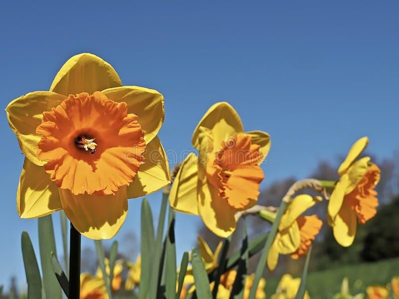 Pomara?cze wype?niaj?cy kwitn?cy daffodils zdjęcie royalty free