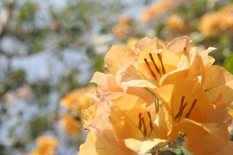 Pomara?czowy bougainvillea kwiat zdjęcia royalty free