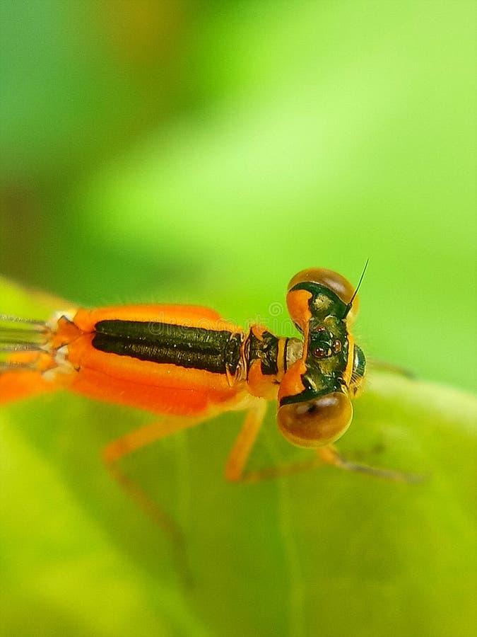 Pomara?czowy dragonfly zdjęcia royalty free