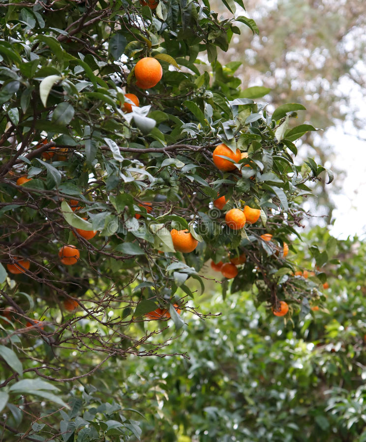 Download Pomarańczowy drzewo obraz stock. Obraz złożonej z ulistnienie - 13331285
