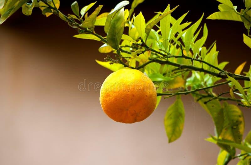 Download Pomara?czowy Drzewo obraz stock. Obraz złożonej z gałąź - 41955663