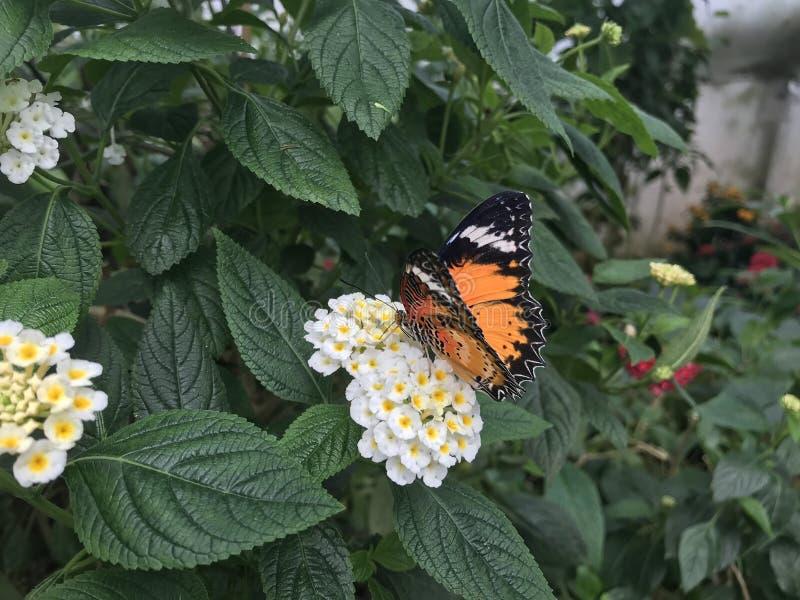 Pomara?czowy Monarchiczny motyl na bia?ym kwiacie obrazy royalty free