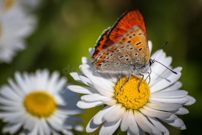 Pomara?czowy motyl na bia?ej stokrotki kwiacie na ??ce fotografia stock