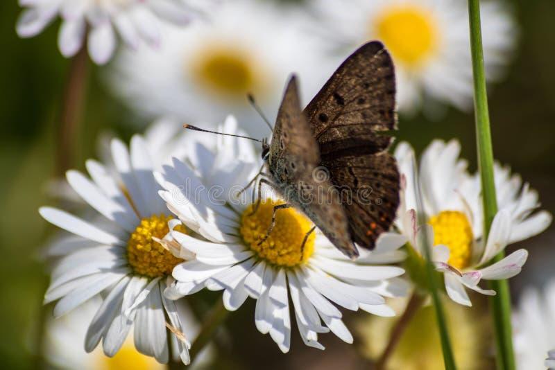 Pomara?czowy motyl na bia?ej stokrotki kwiacie na ??ce obrazy royalty free