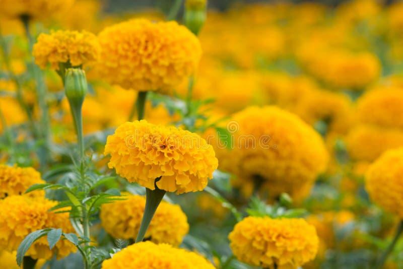 Pomara?czowy nagietka kwiat obrazy stock