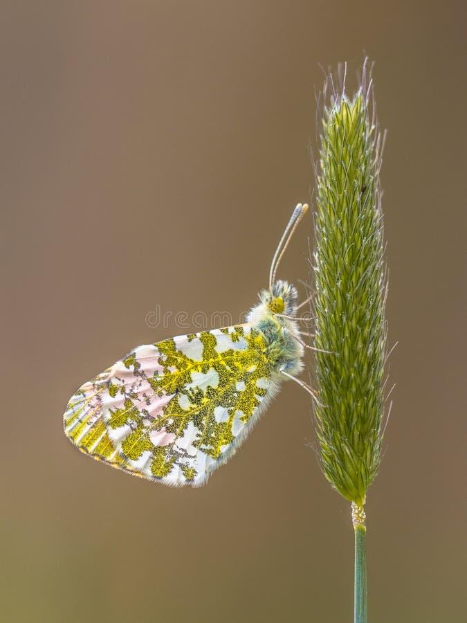 Pomara?czowy porada motyla odpoczywa? obrazy royalty free