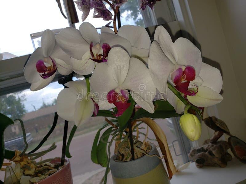 Pomares na flor imagem de stock royalty free